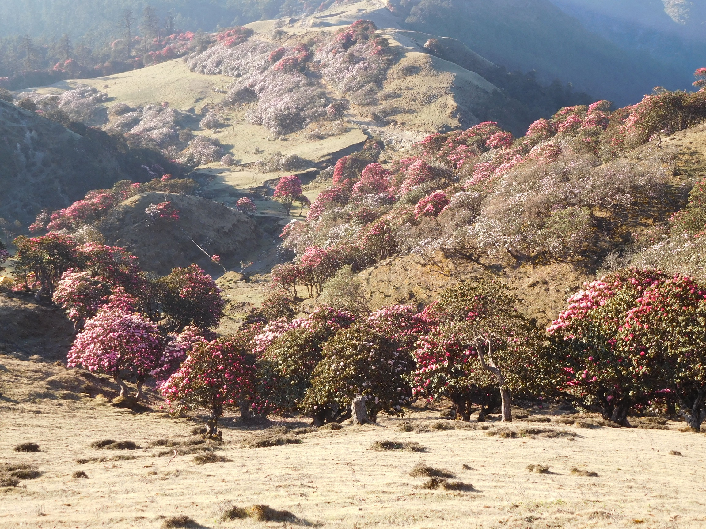 Rhododendrons en route to Bhulbhule