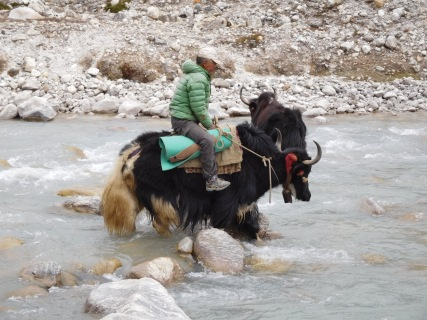 Solukhumbu Trek April/May 2016 - Pema and his yaks cross the river